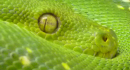 Green Tree Python, Public Domain, excerpt from original image from pixabay.com